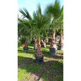 TRACHYCARPUS FORTUNEY 2